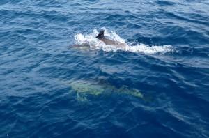 Begleitung durch Delfine