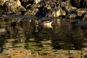 Ente im Hafenbecken