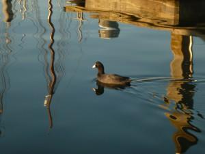 schwarze Ente im Hafen