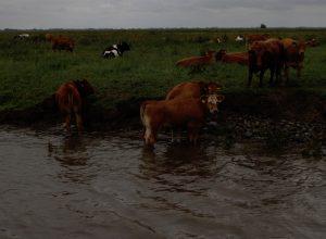 Kühe im Fleet bei Freiburg