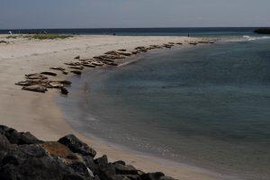 Seehunde auf Helgoland Düne